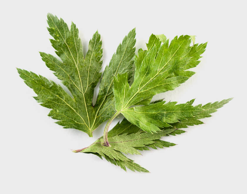 Angelica トウキの葉