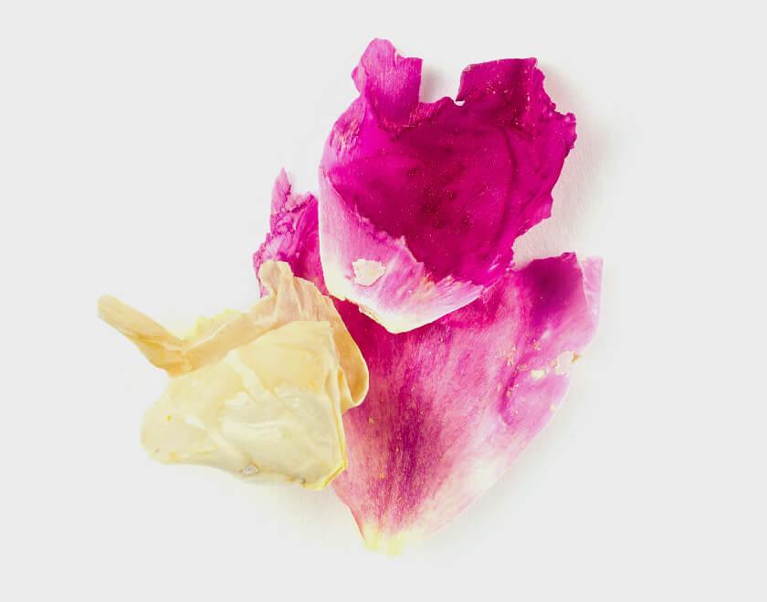 Peony シャクヤクの花